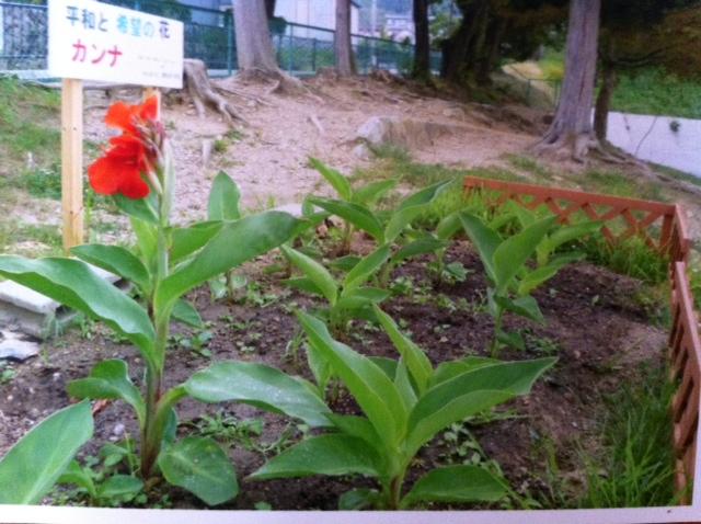 大船渡小のカンナ咲きました